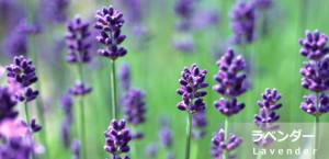 mc_lavender
